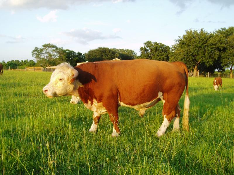Example bull of European breed, no hump and very small dewlap